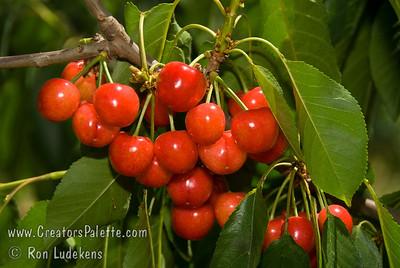 Utah Giant Cherry