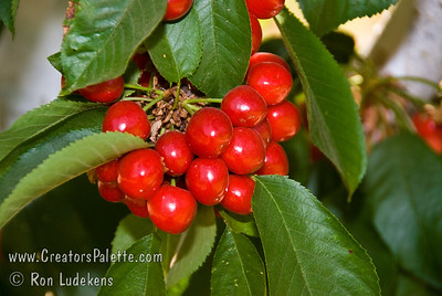 Van Cherry - Prunus avium sp. Large cherry.  Deep red, shiny skin.  Dark flesh, semi-sweet flavor.  Resists cracking.  Heavy bearing.  Cold hardy, very reliable.  Needs pollinizer such as Bing, Black Tartarian or Stella.  Excellent pollinizer for other sweet cherries.  Ripens: Mid to Late Season.  Requires approximately 900 ours chilling. This photo is about 1 week early - cherry is not dark enough.