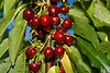 Van Cherry - Prunus avium sp.<br /> Large cherry.  Deep red, shiny skin.  Dark flesh, semi-sweet flavor.  Resists cracking.  Heavy bearing.  Cold hardy, very reliable.  Needs pollinizer such as Bing, Black Tartarian or Stella.  Excellent pollinizer for other sweet cherries.  Ripens: Mid to Late Season.  Requires approximately 900 ours chilling.<br /> This photo shows cherry almost over-ripe.  Sweet - birds are picking them.