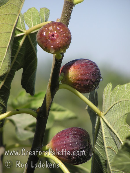 Black Jack Fig (Ficus carica)<br /> Large, long, purplish fruit with strawberry red flesh.  Sweet and juicy.  Heavy producer.  Tree is a natural semi-dwarf and can be kept under 6-8 feet tall with pruning.  Otherwise can reach 12-15 feet.  Ripens: June to Septebmer.