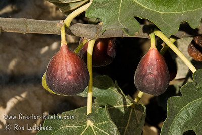 Black Jack Fig (Ficus carica) Large, long, purplish fruit with strawberry red flesh.  Sweet and juicy.  Heavy producer.  Tree is a natural semi-dwarf and can be kept under 6-8 feet tall with pruning.  Otherwise can reach 12-15 feet.  Ripens: June to Septebmer.