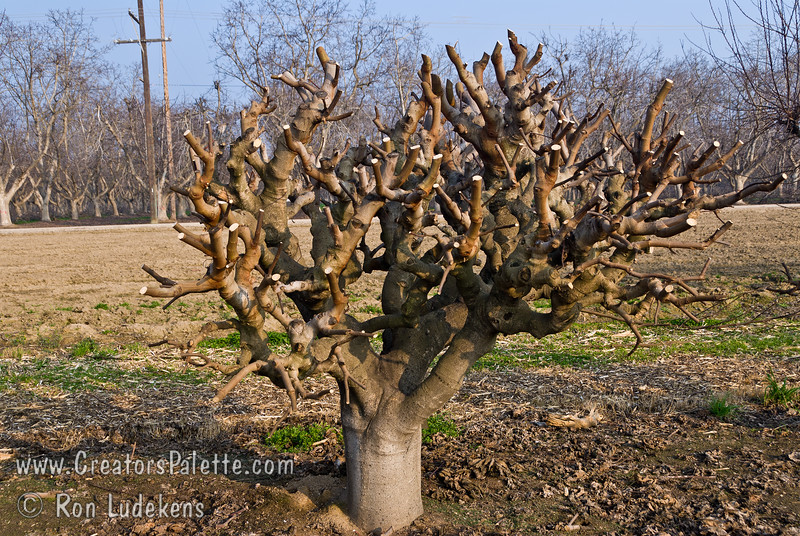 Interesting contorted structure of Black Mission Fig tree in LEC Budwood orchard.  Most all trees are cut back hard to produce new wood for next season's planting.