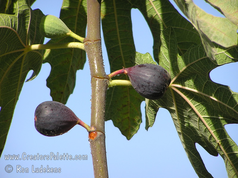 Black Mission Fig (Ficus carica)<br /> One of the most popular figs.  Medium to large, pear shaped fruit.  Purplish-black colored skin.  Flesh is strawberry colored and good flavor.  Good for fresh eating or dried fruit.  Long lived, large tree.  Ranges from coast to inland heat.