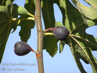 Black Mission Fig (Ficus carica) One of the most popular figs.  Medium to large, pear shaped fruit.  Purplish-black colored skin.  Flesh is strawberry colored and good flavor.  Good for fresh eating or dried fruit.  Long lived, large tree.  Ranges from coast to inland heat.