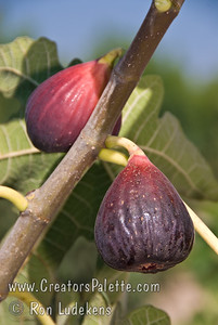 Brown Turkey Fig (Ficus carica) Medium to large, bell shaped fruit.  Purplish-brown skin with light strawberry flesh.  Sweet.  Best eaten fresh.  Large tree.  Ranges from coast to inland heat.  Less than 100 hours chilling required.