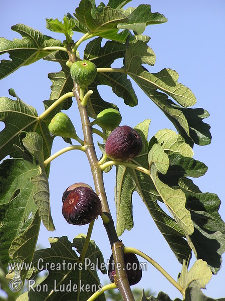 Brown Turkey Fig (Ficus carica)<br /> Medium to large, bell shaped fruit.  Purplish-brown skin with light strawberry flesh.  Sweet.  Best eaten fresh.  Large tree.  Ranges from coast to inland heat.  Less than 100 hours chilling required.