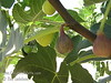 Celestial Fig (Celeste Fig) (Ficus carica)<br /> Small to medium fruit.  Violet to purplish-brown colored skin.  Flesh white, shading to rose at the center.  Firm, juicy, sweetest of all.  Excellent quality.  Best to avoid extremes of heat or cold yet has proven to survive in lows of 11 degrees F. in Texas.  Likes moderate coastal climates.  A regional favorite in Mississsippi and Louisiana.