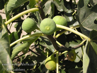 Conadria Fig (ficus carica) Large fruit.  Light green skin.  Flesh whitish-strawberry, flavor sweet and mild.  Good for table use and drying.  Resistant to spoilage.  Good white fig for hot areas and will take desert winter chill.  Vigorous long-lived tree.