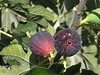 Italian Everbearing Fig - Ficus carica <br /> Large fruit.  Reddish-brown skin. Flesh is whitish-strawberry color with a sweet, mild flavor. Fruit very similar to Brown Turkey. Very prolific bearing. Trees will handle moderately cold winters if warm summers. Grows like a large bush. Mature height is 12-15 feet with a spread of 12-15 feet.  Cold hardy to U.S.D.A.  Zone 7.