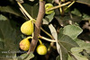 Peter's Honey Fig (Ficus carica)<br /> Light yellow-green fruit with outstanding sweet, dark, amber flesh.  Brought from Sicily by Peter Dana of Portland, Oregon.  15 to 25 feet tall and wide. Drought Tolerant.