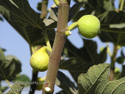 Peter's Honey Fig (Ficus carica) Light yellow-green fruit with outstanding sweet, dark, amber flesh.  Brought from Sicily by Peter Dana of Portland, Oregon.  15 to 25 feet tall and wide. Drought Tolerant.