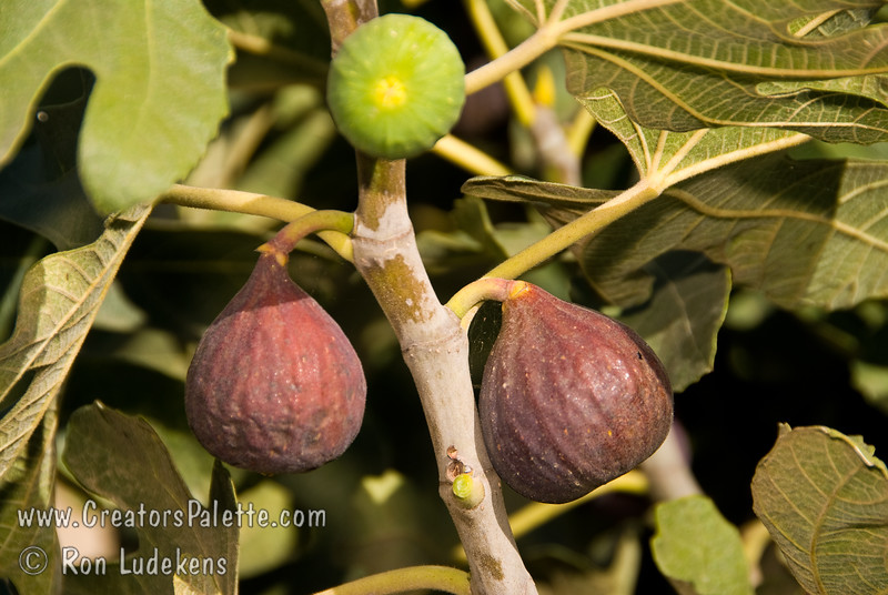 Texas Everbearing Fig (Ficus sp.)<br /> Medium to large fruit, bell shaped.  Brownish-yellow skin.  Amber flesh.  Bears young and gives good crop in short season aeas.  Will tolerate colder areas.  Grows as a large bush.