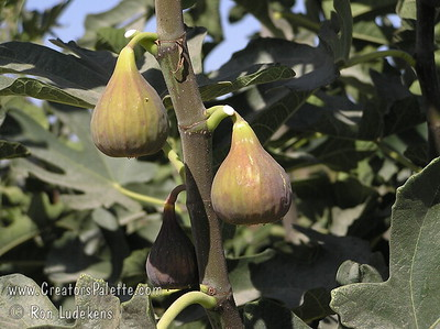 Texas Everbearing Fig (Ficus sp.) Medium to large fruit, bell shaped.  Brownish-yellow skin.  Amber flesh.  Bears young and gives good crop in short season aeas.  Will tolerate colder areas.  Grows as a large bush.