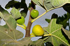 White Genoa Fig - Ficus carica<br /> Large.  Yellow-green, thin skin.  Yellow to light strawberry flesh, few seeds. Good for fresh eating and drying. Self Fertile.  Good for cooler coastal plantings.  Avoid hot summer climates.  Ripens: July and into the fall.  Requires less than 100 hours chilling below 45º F.  Cold hardy to U.S.D.A.  Zone 9 - maybe 8.