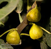 White Genoa Fig - Ficus carica<br /> Large.  Yellow-green thin skin.  Yellow to light strawberry flesh, few seeds.  Table use and drying.  Good for coastal planting.  Avoid hot summer climates.