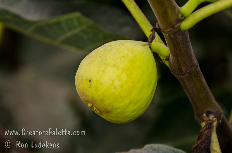 White Kadota Fig (Ficus carica)<br /> Lemon yellow skin.  Amber flesh with few seeds.  Very sweet.  Medium sized.  Good for fresh eating, canning and drying.  Fruit needs hot weather for ripening.  Self Fertile.  Ripens: From August and into the fall.  Requires less than 100 hours chilling below 45º F.  Cold hardy to U.S.D.A.  Zone 9.