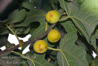 White Kadota Fig (Ficus carica) Medium fruit size.  Lemon yellow skin.  Amber flesh with few seeds.  Very sweet.  Good fresh eating, canning or drying.  Fruit needs hot weather to ripen.