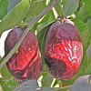 GA 866 Jujube (Chinese Date) - Ziziphus jujuba<br /> An outstanding selection out of the Chico Research program.  It has large, elongated fruit.  Fruit is noteworthy for its remarkably high sugar content.  Sweet apple flavor.  When candied and dried, resembles dates.  Good in hot desert regions.  Attractive shiny leaves. Ripens: Fall, mid-season, close to Lang. Drought tolerant.  150 hours chilling.