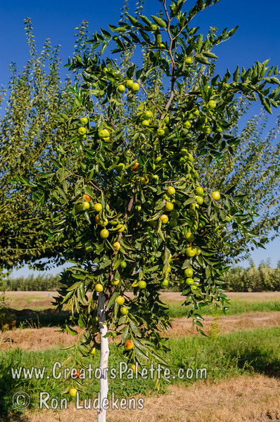 Honey Jar Jujube (Ziziphus jujuba) [2nd Year in Field]<br /> Small to medium fruit which is mostly round.  Extremely sweet fruit - a pleasure to eat.  Sweet apple flavor.                         <br /> Drought tolerant.  Ripens in the fall (mid season).  150 hours chilling required. Cold hardy to USDA Zone 5.
