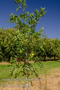 Honey Jar Jujube (Ziziphus jujuba) [1st year in field] Small to medium fruit which is mostly round.  Extremely sweet fruit - a pleasure to eat.  Sweet apple flavor.                          Drought tolerant.  Ripens in the fall (mid season).  150 hours chilling required. Cold hardy to USDA Zone 5.