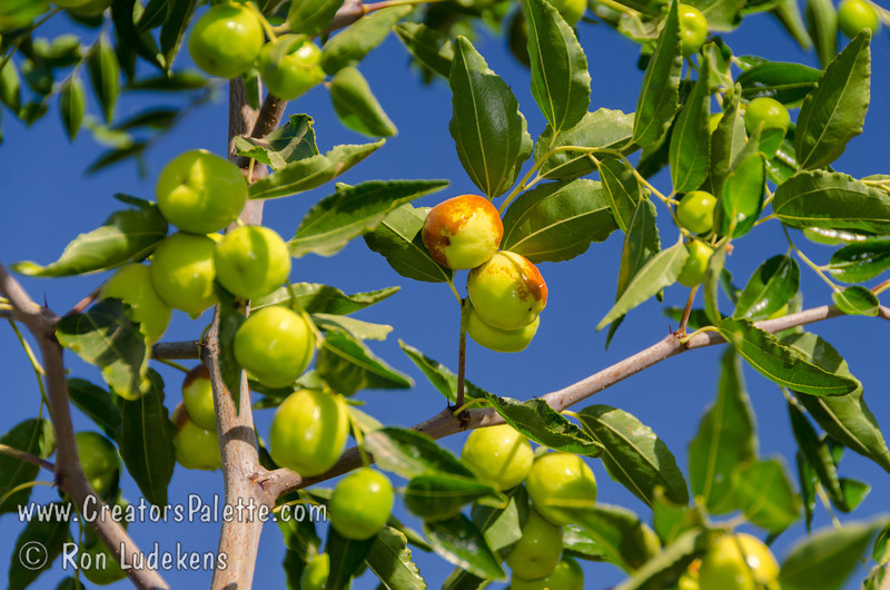 Honey Jar Jujube (Ziziphus jujuba)<br /> Small to medium fruit which is mostly round.  Extremely sweet fruit - a pleasure to eat.  Sweet apple flavor.                         <br /> Drought tolerant.  Ripens in the fall (mid season).  150 hours chilling required. Cold hardy to USDA Zone 5.