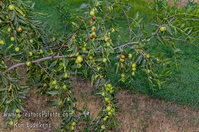 Honey Jar Jujube (Ziziphus jujuba) Small to medium fruit which is mostly round.  Extremely sweet fruit - a pleasure to eat.  Sweet apple flavor.                          Drought tolerant.  Ripens in the fall (mid season).  150 hours chilling required. Cold hardy to USDA Zone 5.