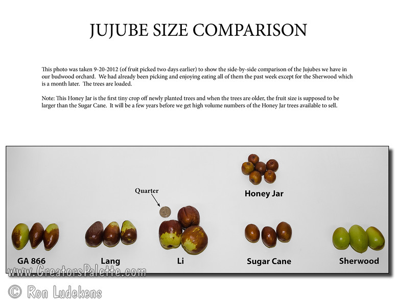 Jujube Size Comparison