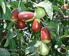 Lang Jujube (Chinese Date) - Ziziphus jujuba<br /> 1½ inches long, distinctly pear shaped.  Better to fully ripen on tree to full mahogany color for best flavor.  A more upright grower than Li.  Ripens: Fall, early to mid-season, slightly earlier than Li.  Drought tolerant.  150 hours chilling.