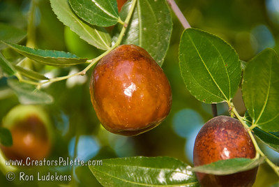 Li Jujube (Chinese Date) - Ziziphus jujuba The number one seller.  1½ inches long, round-plump.  Unlike Lang, can be picked yellow-green and will finish ripening off the tree to wrinkled, mahogany color.  More arched branching structure than Lang.  Ripens: Fall, mid season, slightly later than Lang.  Drought tolerant.  150 hours chilling required.