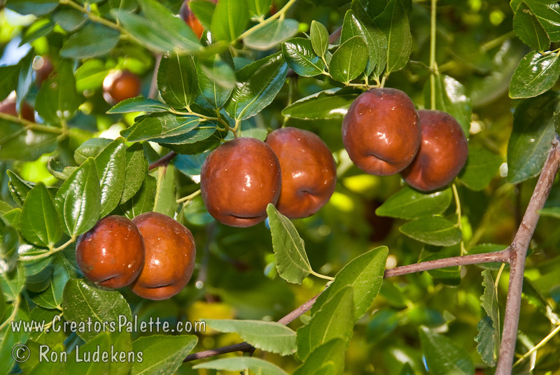 Li Jujube (Chinese Date) - Ziziphus jujuba<br /> The number one seller.  1½ inches long, round-plump.  Unlike Lang, can be picked yellow-green and will finish ripening off the tree to wrinkled, mahogany color.  More arched branching structure than Lang.  Ripens: Fall, mid season, slightly later than Lang.  Drought tolerant.  150 hours chilling required.
