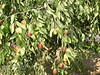Sherwood Jujube (Chinese Date) - Ziziphus jujuba<br /> Excellent tasting, firm large shiny reddish-brown date like fruit.  Sweet apple-like flavor.  When candied and dried, resembles dates.  Good in hot desert areas.  Attractive shiny leaves.  Upright grower with far fewer thorns than other selections.  Ripens: Fall, late season.  (Extends fresh fruit available for market).  Not recommended for areas where climate cools before fruit ripens.  Drought tolerant.  150 hours chilling required.