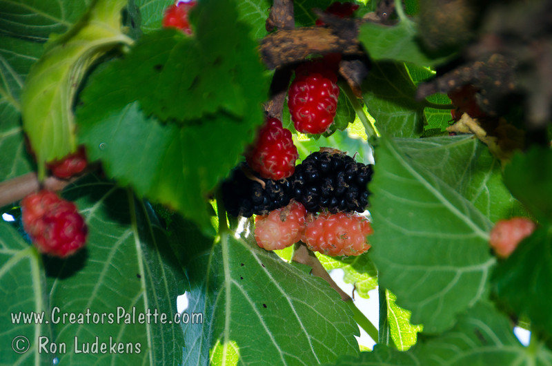 Black Beauty Mulberry (Morus nigra sp.)<br /> The tasty, blackberry-like fruit is large, black and juicy.  Very attractive to birds. Some drought tolerance when established.  This Persian Mulberry is semi-dwarf to 12-15 feet high. Cold hardy to USDA Zone 4.