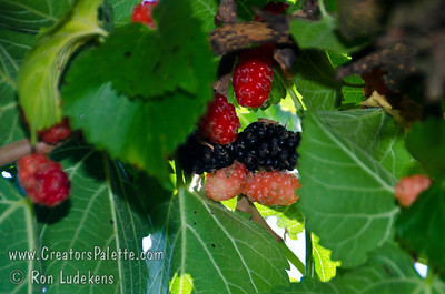 Black Beauty Mulberry (Morus nigra sp.) The tasty, blackberry-like fruit is large, black and juicy.  Very attractive to birds. Some drought tolerance when established.  This Persian Mulberry is semi-dwarf to 12-15 feet high. Cold hardy to USDA Zone 4.