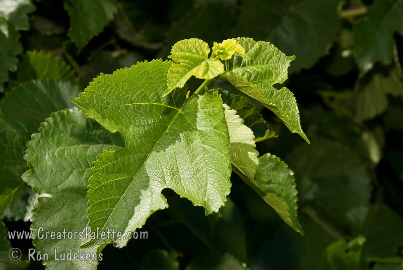 The purpose of this photo is to show that this mulberry has different shaped leaves on the same branch.  This has raised occasional concern when two trees of the same variety seem to show different leaves.