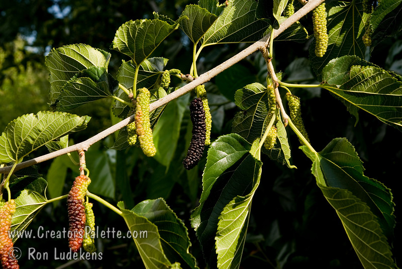 "Cooke's Pakistan Fruiting Mulberry - Morus alba 'Cooke's Pakistan'<br /> ""King"" of the fruiting mulberries producing 3½ "" to 5"" long maroon to black berries.  Very sweet and flavorful with a raspberry like flavor.  Multi-month long fruiting season starting heavy in late spring/early summer and continuing to fruit until mid summer. <br /> Mulberry trees in general are drought tolerant and forgiving of poor soils and tough urban conditions.  <br /> Not recommended to plant over driveways and walkways due to fruit drop.<br /> Mature height is 40-50 feet with a spread of 40-45 feet. <br /> Cold hardy to U.S.D.A.  Zone 7 and maybe 6."
