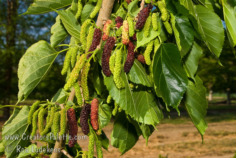 "Pakistan Fruiting Mulberry - Morus alba 'Pakistan'<br /> ""King"" of the fruiting mulberries producing 3½ "" to 5"" long maroon to black berries.  Very sweet and flavorful with a raspberry like flavor.  Multi-month long fruiting season starting heavy in late spring/early summer and continuing to fruit until mid summer. <br /> Mulberry trees in general are drought tolerant and forgiving of poor soils and tough urban conditions.  <br /> Not recommended to plant over driveways and walkways due to fruit drop.<br /> Mature height is 40-50 feet with a spread of 40-45 feet. <br /> Cold hardy to U.S.D.A.  Zone 6."
