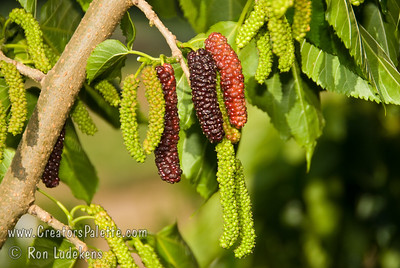 """Pakistan Fruiting Mulberry - Morus alba 'Pakistan' """"King"""" of the fruiting mulberries producing 3½ """" to 5"""" long maroon to black berries.  Very sweet and flavorful with a raspberry like flavor.  Multi-month long fruiting season starting heavy in late spring/early summer and continuing to fruit until mid summer.  Mulberry trees in general are drought tolerant and forgiving of poor soils and tough urban conditions.   Not recommended to plant over driveways and walkways due to fruit drop. Mature height is 40-50 feet with a spread of 40-45 feet.  Cold hardy to U.S.D.A.  Zone 6."""