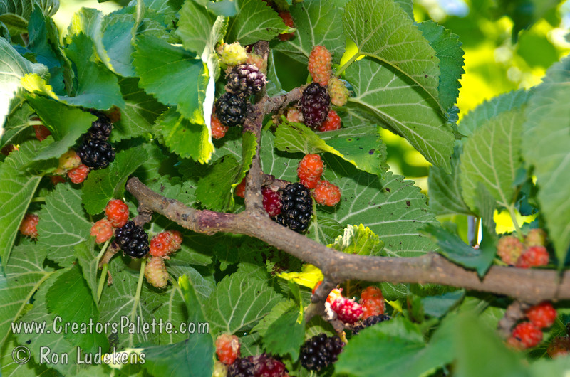 Persian Fruiting Mulberry (Morus nigra sp.)<br /> Small spreading, long-lived bush or tree.  Bears large, black, tasty fruit similar to blackberries.  Height 20-25 feet but can be pruned to a hedge.  Birds are highly attracted to berries.  Cold hardy to 0 degrees F (USDA Zone 7).  Self fertile.