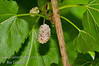 White Fruiting Mulberry (Morus alba)<br /> Produces large white fruit with slight red blush. Very sweet. Growth habit similar to Cutleaf Mulberry. Mature height 30-35 ft., spread 35-40 ft. Cold hardy to USDA Zone 6.