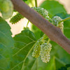 White Persian Fruiting Mulberry (Morus nigra 'Alba')<br /> Small spreading, long-lived bush or tree.  Bears large, greenish-white to pink, tasty fruit similar in shape to blackberries.  Height 20-25 feet but can be pruned to a hedge.  Birds are highly attracted to berries.  Self Fertile.  Ripens: Early summer  Requires <200 hours chilling below 45º F.  Cold hardy to U.S.D.A.  Zone 7 (to 0 degrees).