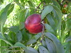 Fantasia Nectarine - prunus persica var. nucipersica<br /> Very large, freestone.  Bright red with bright yellow inder-color.  Flesh is yellow, firm and smooth textured.  Good quality, sweet and juicy.  Bears well in warmer winter areas (low chill).  Also frost tolerant.  Ripens: Mid to Late July.