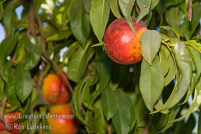 Flavortop Nectarine (Prunus persica var nucipersica) Very large. Bright red with bright yellow under-color. Firm yellow flesh, smooth texture, sweet, juicy and excellent quality.  Bears well in warm winter areas.  Also frost tolerant.  Ripens: Mid to late July. 5-600 hours chilling required.
