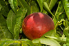 Flavortop Nectarine (Prunus persica var nucipersica)<br /> Very large. Bright red with bright yellow under-color. Firm yellow flesh, smooth texture, sweet, juicy and excellent quality.  Bears well in warm winter areas.  Also frost tolerant.  Ripens: Mid to late July. 5-600 hours chilling required.