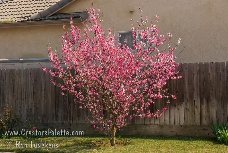 Prunus Persica Nucipersica Nectarine Tree Nectarine Prunus Persica