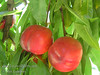 Independence Nectaine - Prunus persica var nucipersica<br /> Large fruit.  Brilliant red skin.  Golden-yellow, firm flesh.  Good flavor.  Freestone.  Trees produce very well.  Attractive spring blooms.  Winter and frost hardy making it a favorite in colder winter climates.  Cold hardy to USDA Zone 5.  Ripens Late June in Central California.