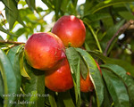 "Independence Nectarine - Prunus persica var nucipersica : These photo galleries have been provided to allow Nurseries and other plant enthusiasts obtain quality photos for your websites and printed publications.  Only you know the look and feel you want to obtain, so it is best that you select the photos that work best for your application as opposed to a L.E. Cooke Co staff person choosing for you.  Select the photo, click on ""buy this photo"" then select ""Downloads"".  There is a nominal cost for the file to support this website."