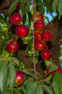 Panamint Nectarine (Prunus persica var nucipersica) Medium. Rich red skin. Golden flesh. Freestone. Heavy bearer in mild winter climates.  Requires 300 hours of chill below 45°F.  Ripens in early to mid-July.  Cold hardy to U.S.D.A.  Zone 8.