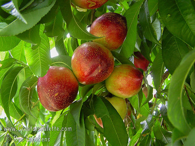 Snow Queen Nectarine (Prunus persica var nucipersica) Sweet, juicy, early season white fleshed freestone.  Medium size, red skin over creamy base.  Long time favorite in Southern California.  Ripens Late June, 2-3 weeks ahead of Babcock Peach.  Self fertile. 250-300 hours chilling.