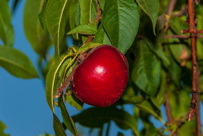 Sunred Nectarine (Prunus persica var nucipercsica) Medium. Bright red skin.  Firm, yellow flesh, sweet, good flavor.   Bears well in warm winter areas. Semi-freestone.  Requires 200-300 hours chilling below 45°F.  Ripens: Mid May to Early June. Cold Hardy to U.S.D.A. Zone 8.