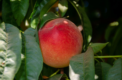 Babcock Peach (Prunus persica) Best known white peach.  Medium. Red cheeked skin.  Sweet, juicy, white flesh.  Heavy bearer.  Freestone.  Ripens: Early July.  Low Chilling: Requires 250 hours of chilling below 45º F.  Cold hardy to U.S.D.A.  Zone  8.